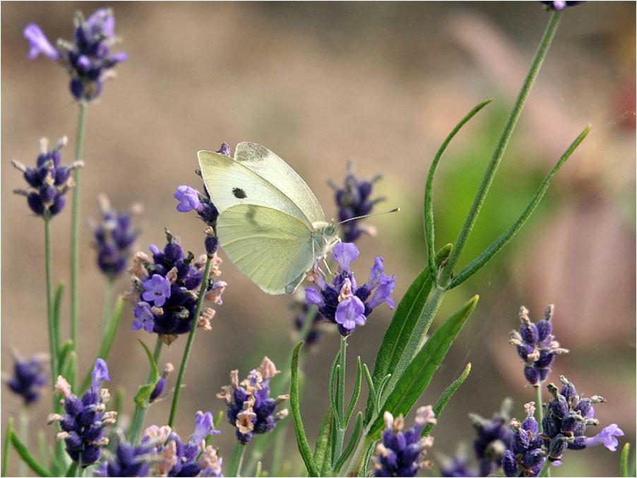 Im Lavendel ...