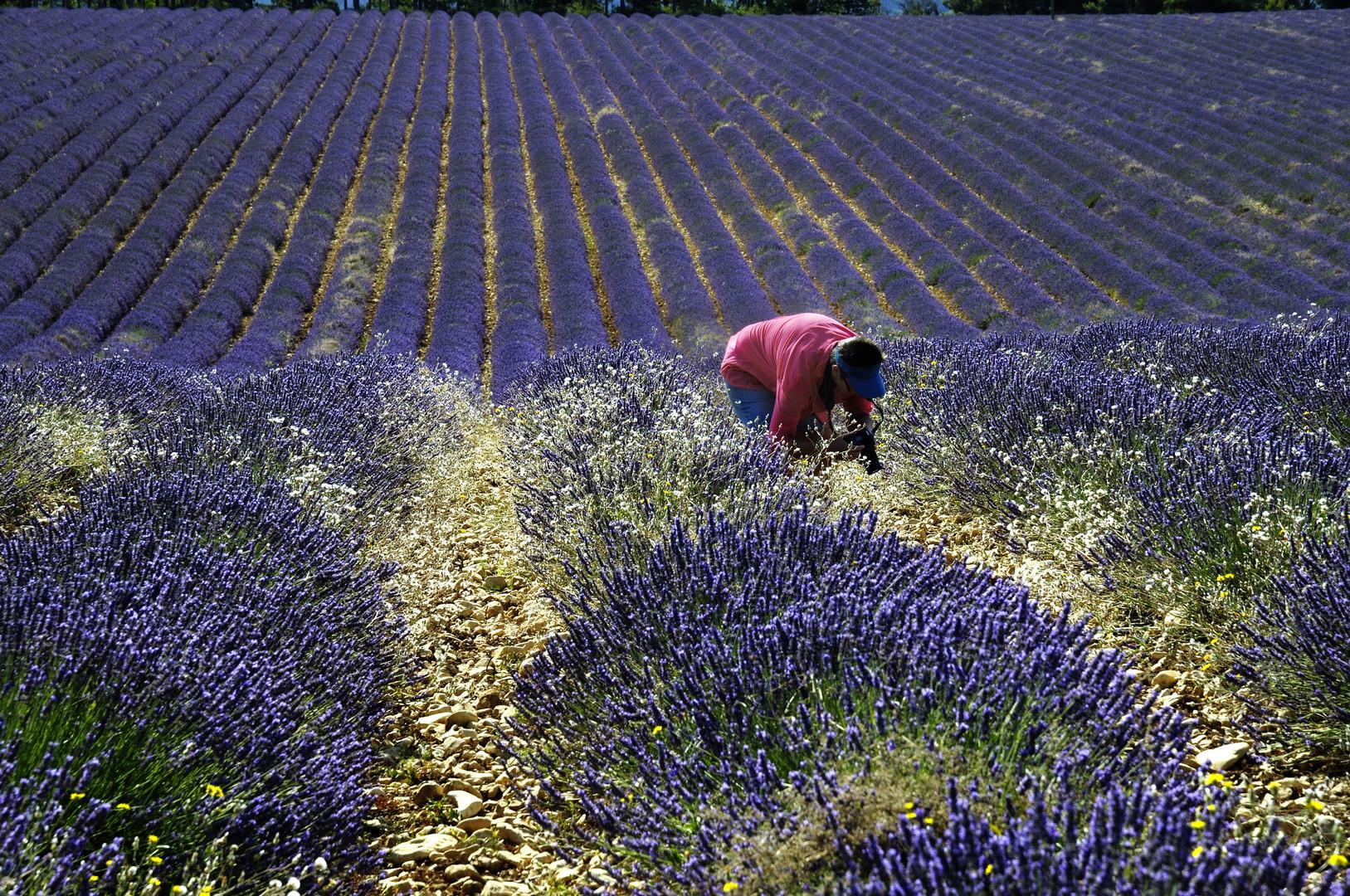 Im Lavendel III