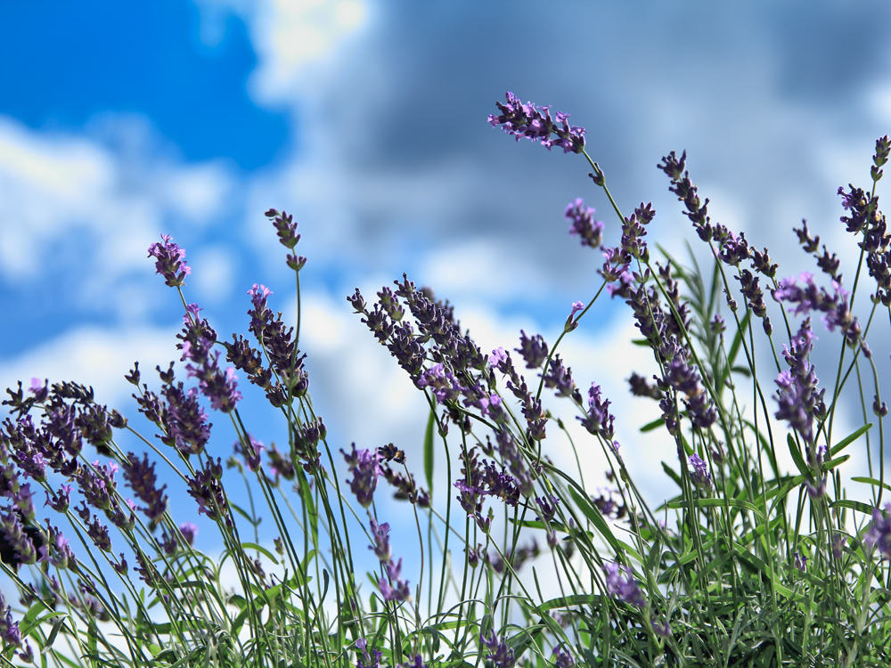 im Lavendelfeld liegend....