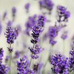 Im Lavendelgarten