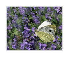 Im Lavendelrausch