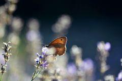- Im Lavendeltraumland -