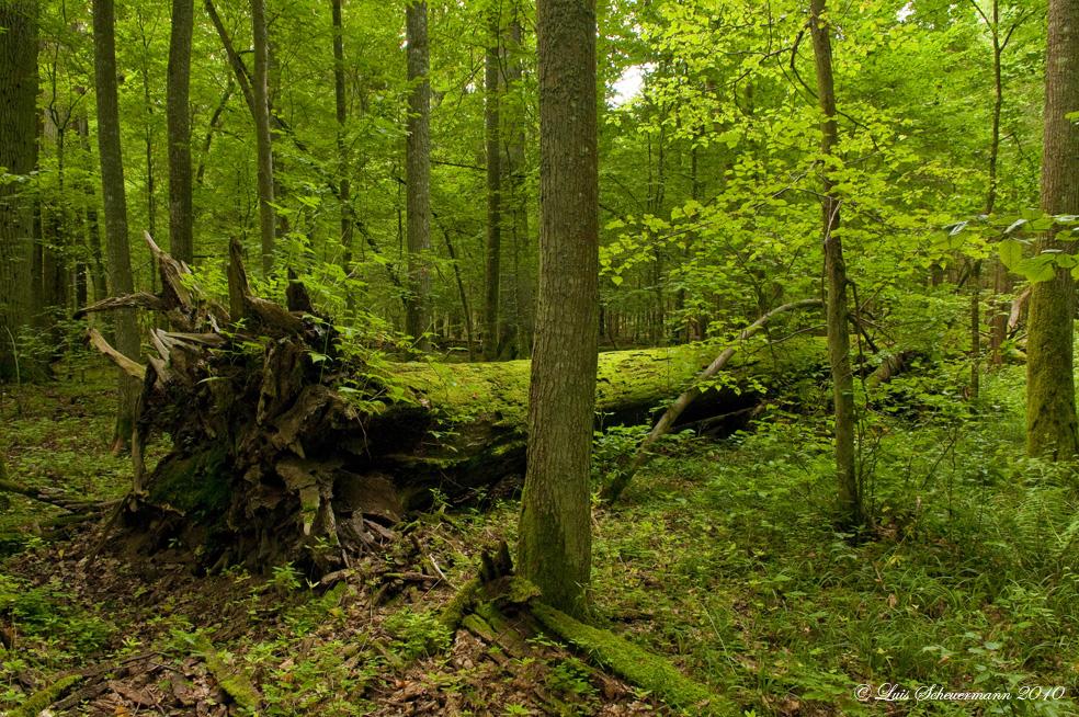 im letzten urwald europas 4 foto  bild  landschaft wald