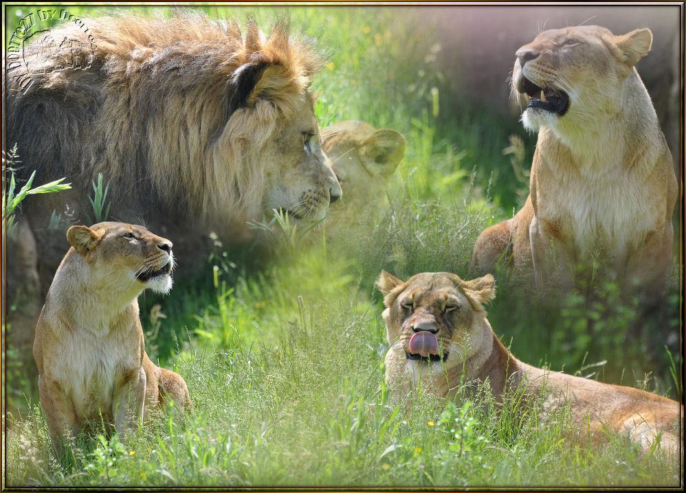 Im Löwengehege des..............