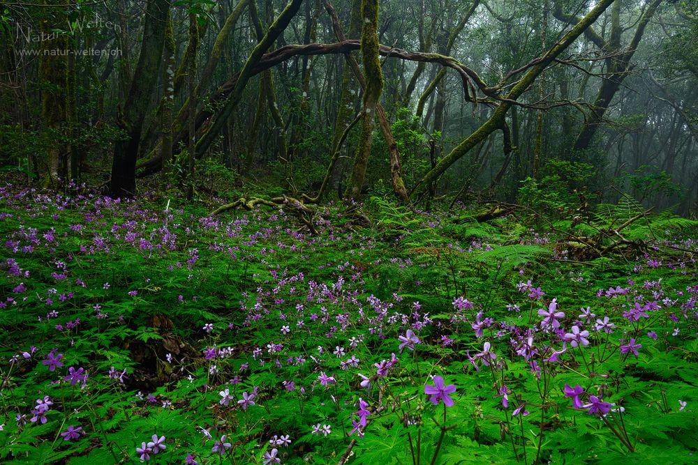Im Märchenwald von Garajonay