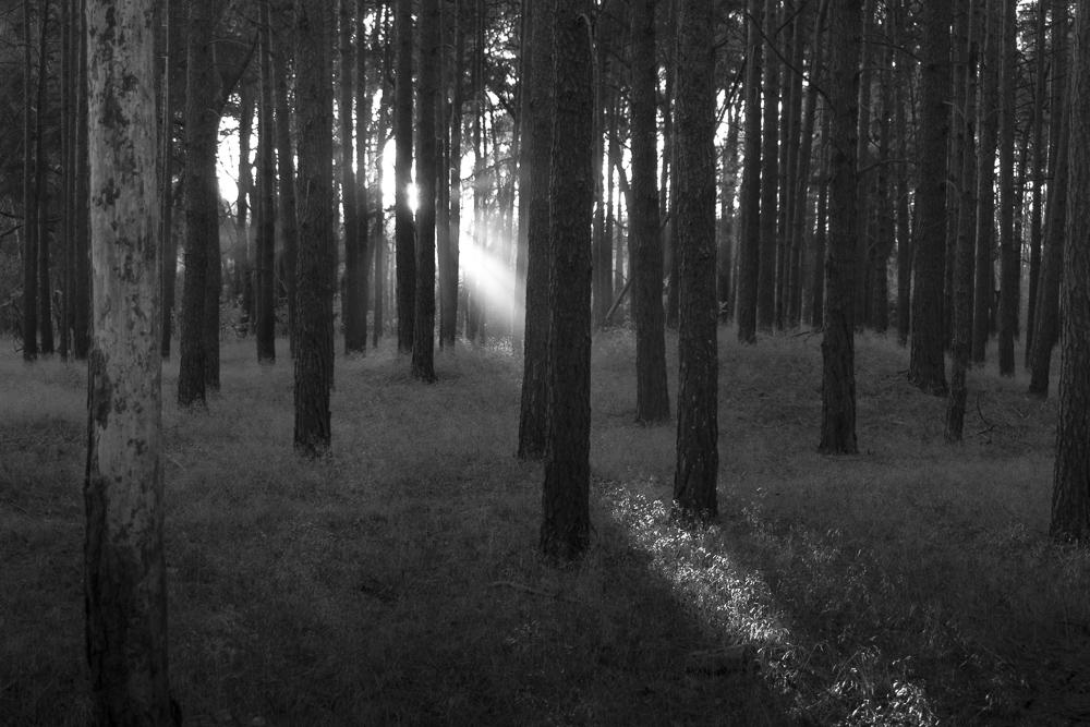 Im märkischen Kiefernwald