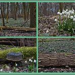 """- im """"Märzenbecher - Wald 2015""""-"""