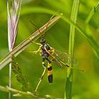 Im Modetrend: Gelbe Schlupfwespe (Amblyteles armatorius) * - Une guêpe qui ne pique pas!