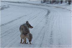 Im Morgengrauen im Yellowstone ...