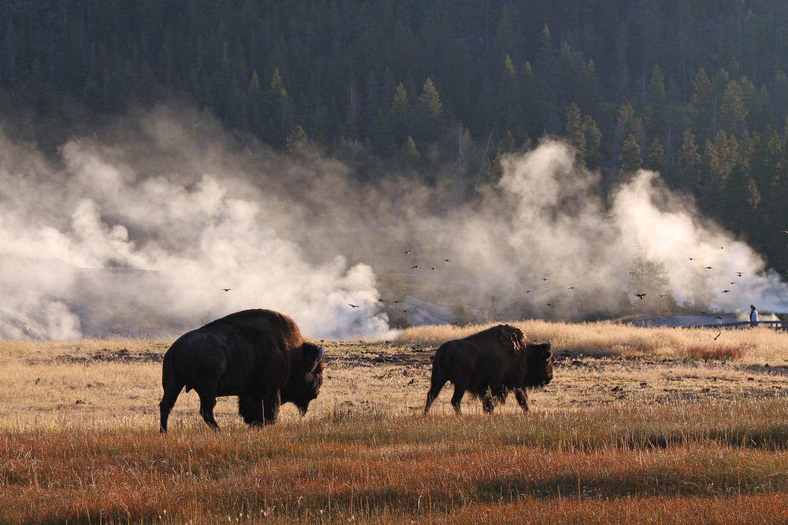 Im Morgennebel (Yellowstone, NP)