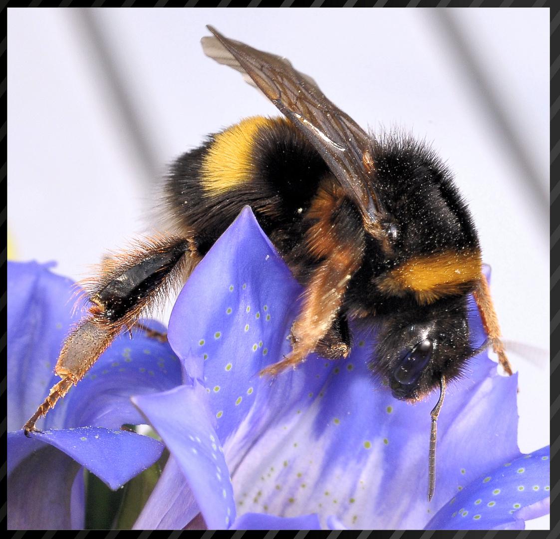 Im Oktober noch auf Pollensuche.