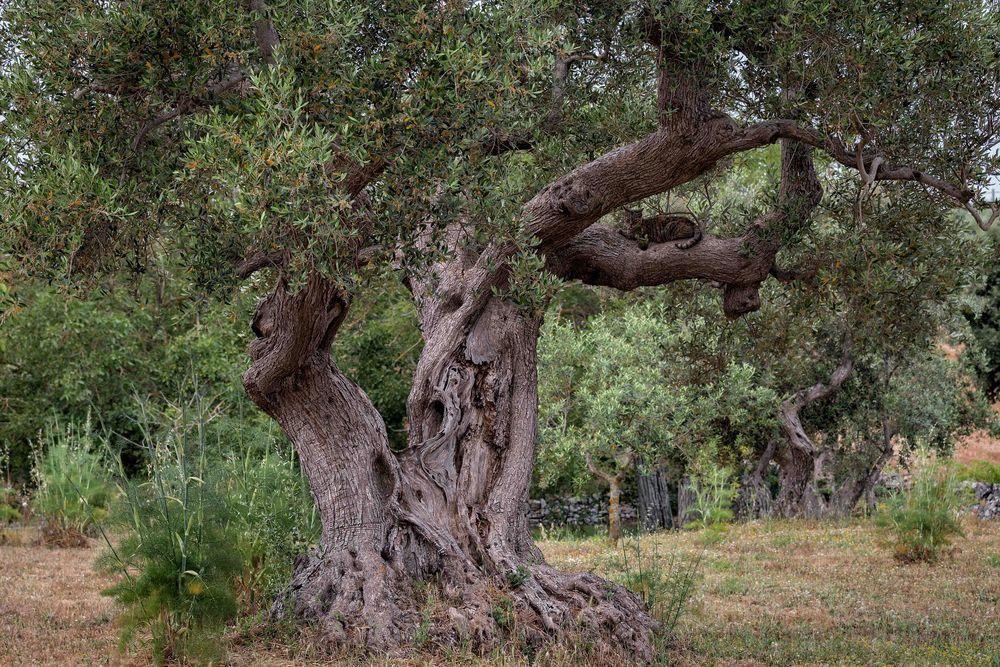 im Olivenbaum...