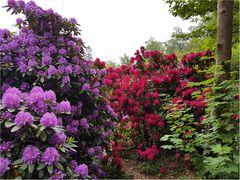 Im Rhododendron-Hain