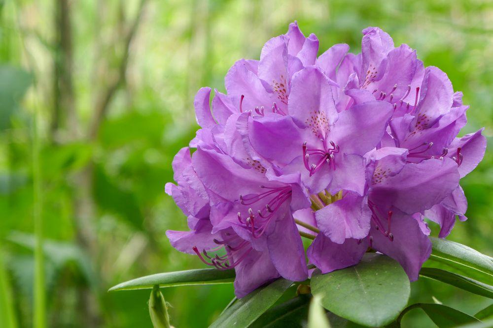 Im Rhododendronfieber