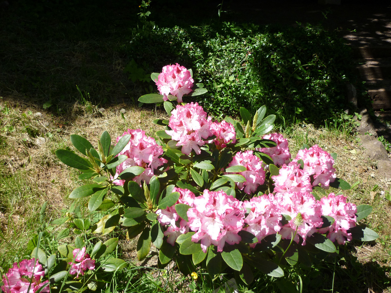 im Rhododendrongarten