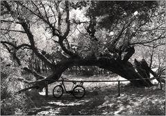 Im Schatten des alten Baumes ...