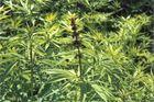 im schönen schwarzwald, wächst ein gutes gras.