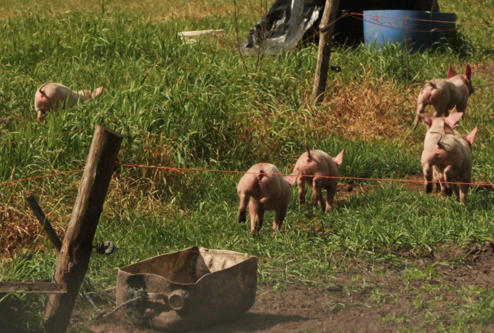 Im Schweins-Galopp läuft das Glück davon !