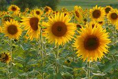 im Sonnenblumenfeld....