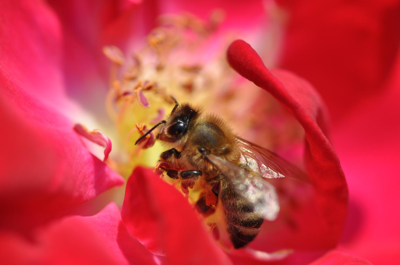 Im Städt.Rosengarten München - mit Bienchen