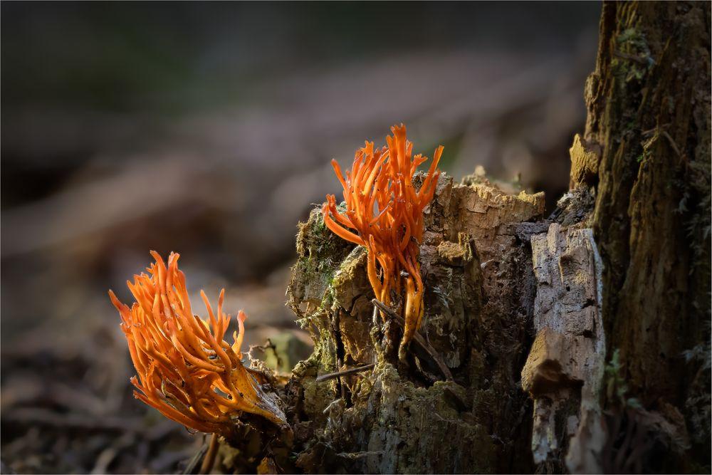 im trockenen Fichtenwald