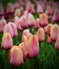 * Im Tulpenmeer *