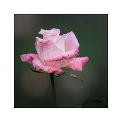 im Verblühen - Rose #2