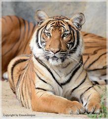Im Visier des Tigers