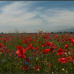 Im wahrsten Sinn ein Blütenmeer / Une mer de fleurs de pavot