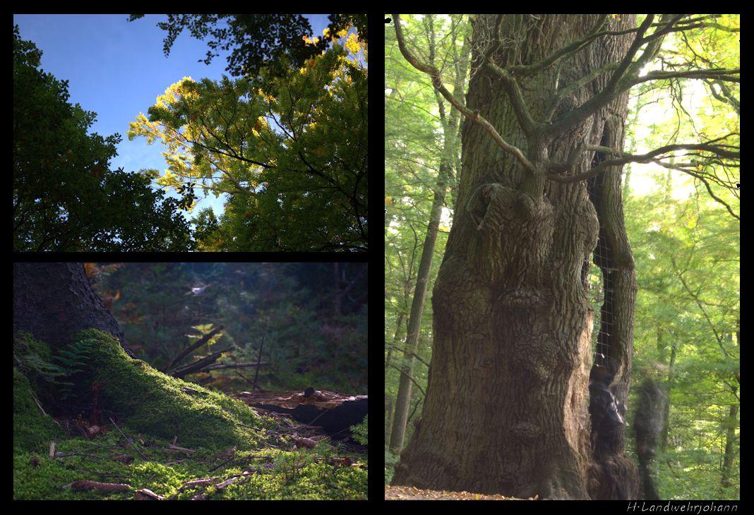 Im Wald der 500 Jahre alten Eiche