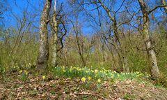 Im Walde der Wilde Narzissen (Narcissus pseudonarcissus)