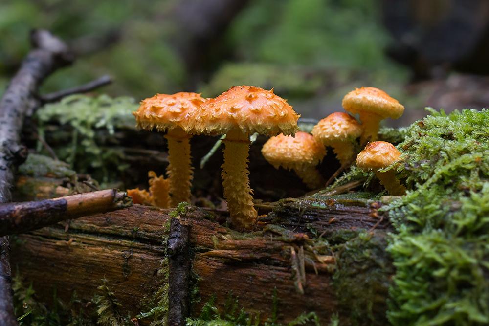 Im Walde steht ein Schüppling ...