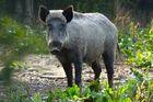 Im Wildschweingehege Remstecken Koblenz
