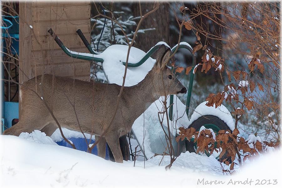 Im Winter kommen sie aus dem Wald