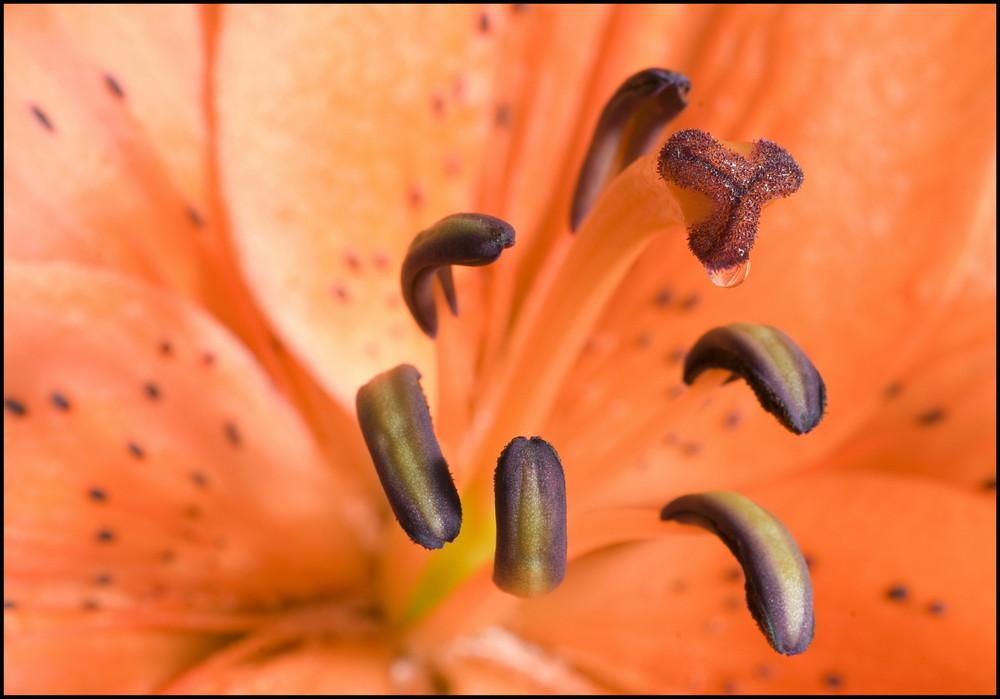 Im Zentrum der Lilie