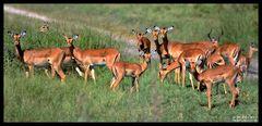 - Imapalaherde immer Wachsam - Tansania Serengeti