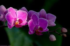 IMG_1742_Orchidee