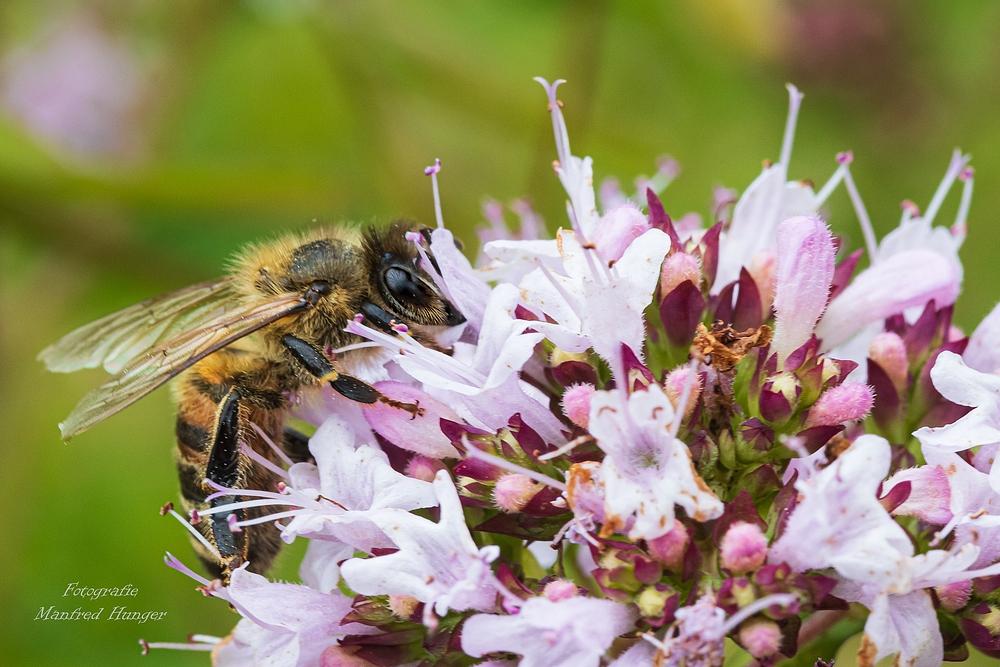Imke beim Pollen sammeln