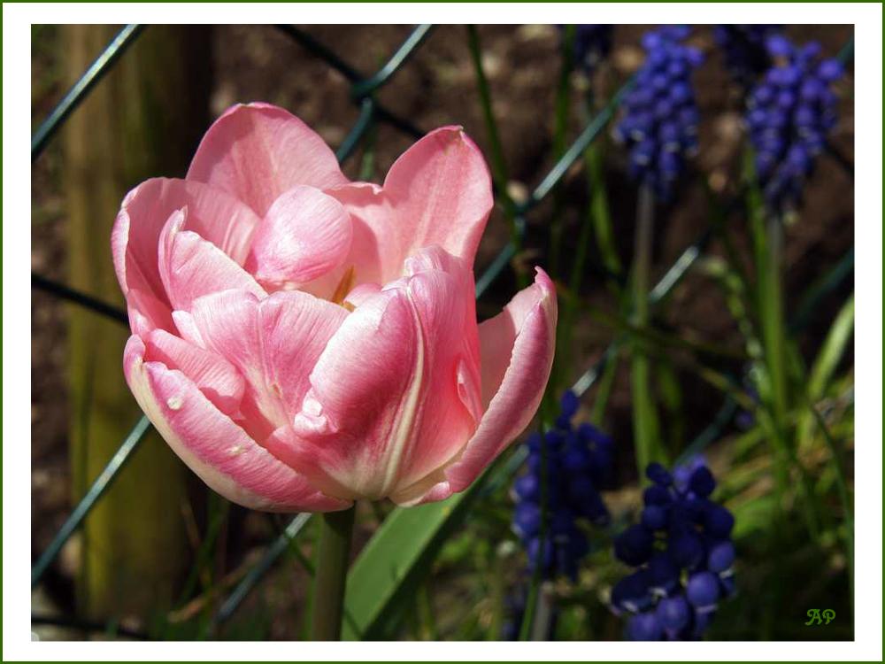 ...immer noch 'ne Tulpe