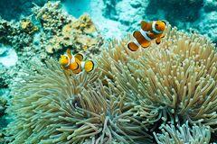 immer wieder Anemonenfische