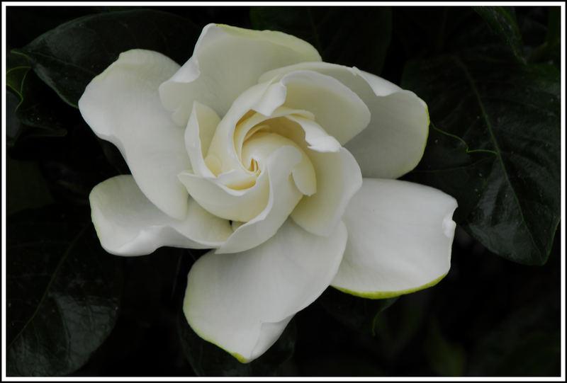 Immer wieder eine Schönheit - Gardenie