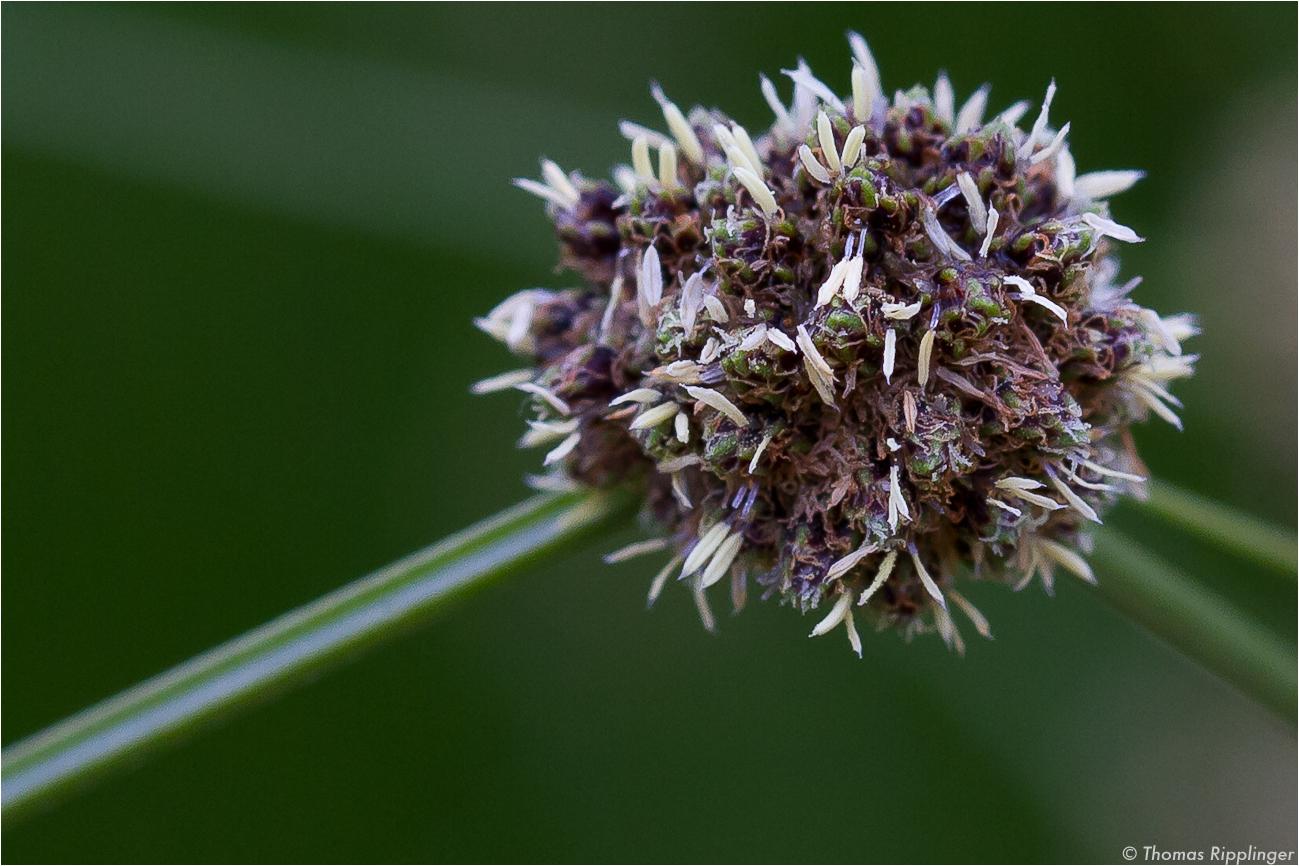 Immergrüne Kugelbinse (Scirpoides holoschoenus)
