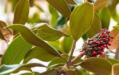 immergrüne Magnolie mit Samen