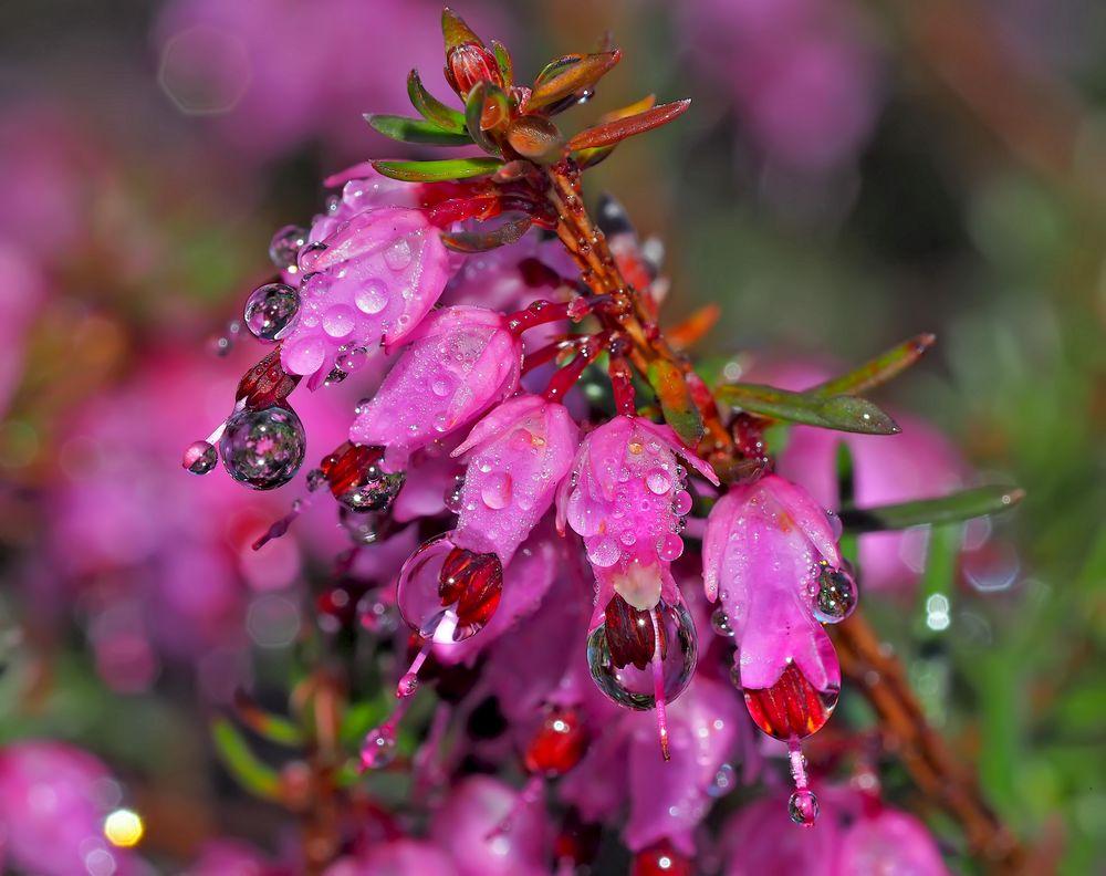 Immergrüne Schneeheide (Erica carnea) - Bruyère des Alpes...