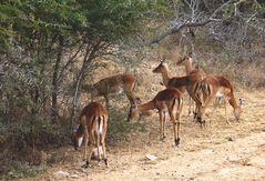 < impala
