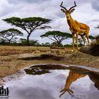 Impala am Wasser