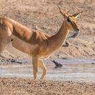 Impala an der Wasserstelle