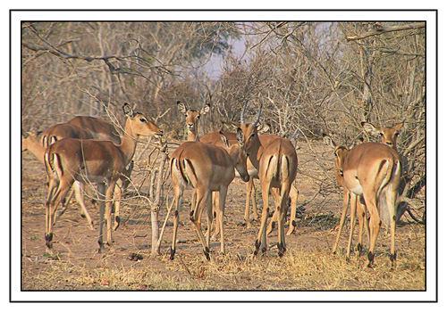 Impala-Bock mit Harem