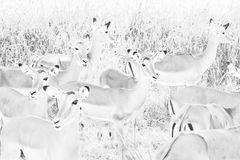 Impala-Damen (Aepyceros melampus)