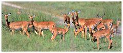 --- Impala Herde --- Tansaniea-Serengeti.